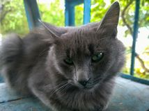 Gray cat with green eyes. Gray stray cat with greenish eyes and not a good look Stock Images
