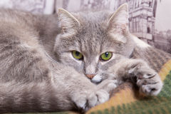 The gray cat with green eyes lies on a woolen plaid and longs Stock Photography