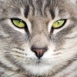 Gray cat with green eyes is looking at camera. Grat cat with conspicuous eyes is looking at the camera. Background photo Stock Images