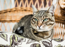 Gray cat with green eyes resting on wicker chair. Tabby cat with emerald eyes and a bell on its neck sitting on wicker chair royalty free stock image