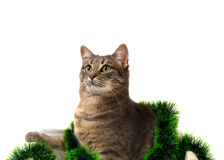 Gray cat with green eyes sitting in basket with Christmas tinsel Royalty Free Stock Photo