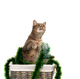 Gray cat with green eyes sitting on its hind legs in wicker bask Stock Photos