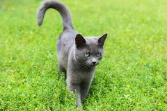 Gray cat with green eyes is standing on the grass. A gray cat with green eyes is standing on the grass stock photography