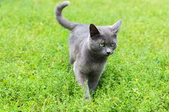 Gray cat with green eyes is standing on the grass. A gray cat with green eyes is standing on the grass royalty free stock photography