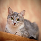 Gray cat with green eyes. Stock Photography