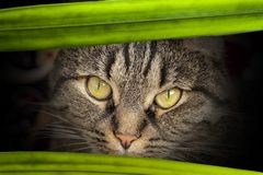 Angry look of a cat, close-up. A gray cat with a head in details, a mustache. Angry look Royalty Free Stock Images