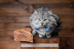 Gray cat and heart. Gray cat with blue ribbon and wooden heart Royalty Free Stock Images