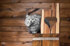 Gray cat and heart. Gray cat with blue ribbon and wooden heart stock image