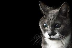 Gray Cat-het kijken Stock Foto