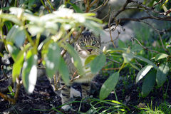 Gray cat hidding between rhododendron twigs. hunting. Stock Photos