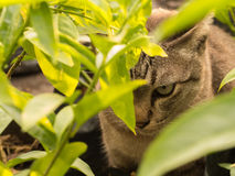 Gray Cat Hiding. In The Shadows of Trees Stock Photos