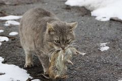 Gray cat holding a big gray rat in the mouth standing on the road in the snow. On the street Stock Photos
