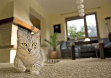 Gray cat at home. Cat walking on the carpet in living room Royalty Free Stock Photography