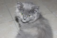 Gray Cat In The Home. In Indonesia stock image