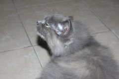 Gray Cat In The Home. In Indonesia royalty free stock images