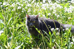 The gray cat hunts in dandelions Stock Image