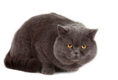 Gray cat isolated Royalty Free Stock Photography