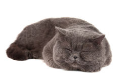 Gray cat isolated Stock Photography