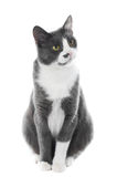 Gray Cat seie Royalty Free Stock Image