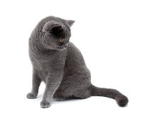 Gray cat isolated on white background Royalty Free Stock Photo