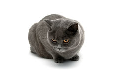 Gray cat isolated on white background Royalty Free Stock Images