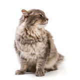 Gray cat isolated on white background Royalty Free Stock Photos