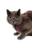 Gray cat on a isolated white background. Royalty Free Stock Images