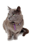 Gray cat on a isolated white background. Stock Photo