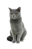Gray cat isolated on white background Stock Images