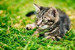 Gray Cat Kitten Play In Grass engraçado bonito brincalhão Imagens de Stock