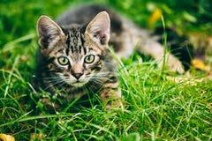 Gray Cat Kitten Play In Grass Outdoor bonito brincalhão Foto de Stock Royalty Free