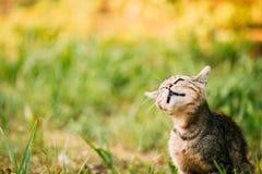Gray Cat Kitten Play Shakes His Head divertente in erba all'aperto a soleggiato Fotografia Stock