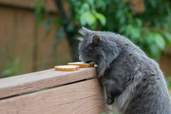 Cat licking cream cheese off of the bread stock photo