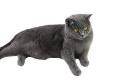 The gray cat lies Stock Photos