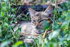 Gray cat lies in the green grass.  stock photo