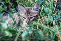 Gray cat lies in the green grass.  royalty free stock photos