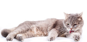 The gray cat lies and washes. Stock Image