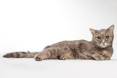 Gray cat lies on white Royalty Free Stock Photography