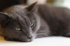 Gray cat lies on window Royalty Free Stock Images