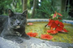 Gray cat by lily pond in Key West FL, home of Ernest Hemingway Royalty Free Stock Photography