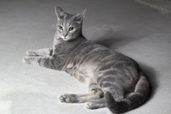 Gray cat with lines. Looking attentive. Royalty Free Stock Photo