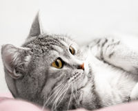 Gray cat listen Stock Photos