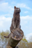 Gray cat on a log Royalty Free Stock Photo