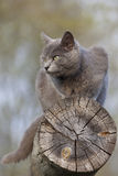 Gray cat on a log Stock Photography
