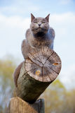 Gray cat on a log Royalty Free Stock Photography