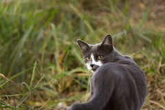 Gray cat, looking back at field with tall grass royalty free stock image