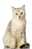Gray cat looking at camera. isolated on white background.  Stock Photo