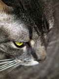 Gray Cat Looking Down. A gray tabby cat looks down at something Stock Photos