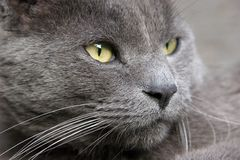 Gray Cat Looking Serious - Portrait Royalty Free Stock Images