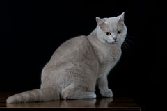 Gray cat looking a side. On black background Stock Photography